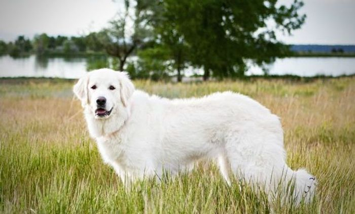 20 Most Popular White Dog Breeds 2020 13