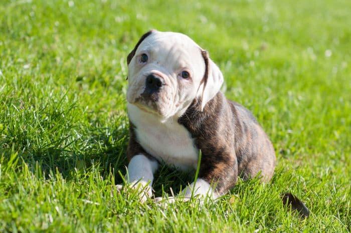 American Bulldog 5