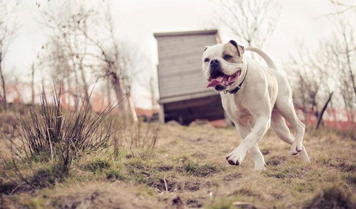American Bulldog 6