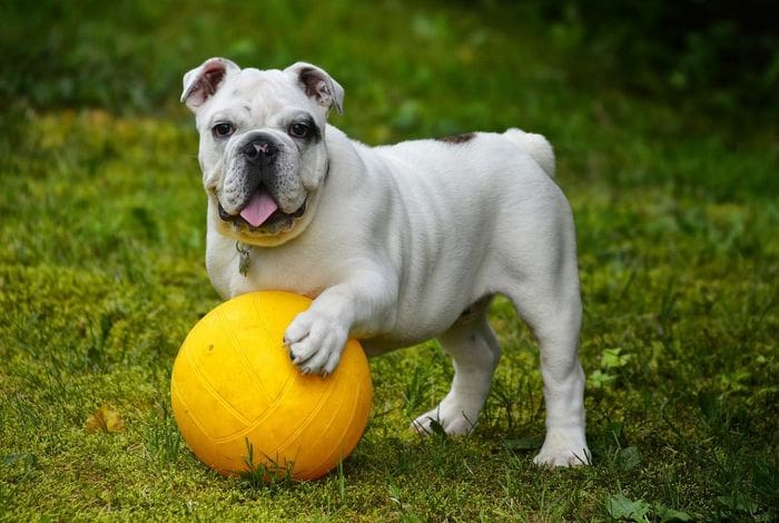 American Bulldog 7