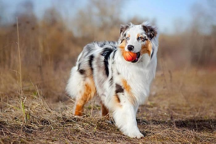 Australian Shepherd Dog Breed Information 6