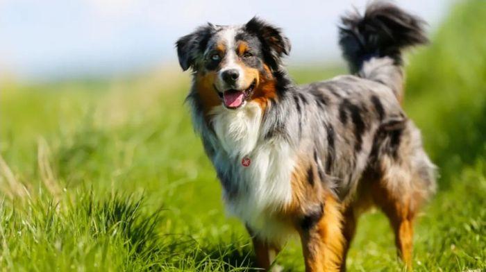 Australian Shepherd Dog Breed Information 3