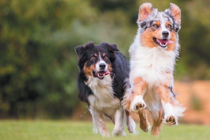 Australian Shepherd Dog Breed Information 9