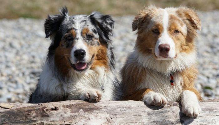 Australian Shepherd Dog Breed Information 10