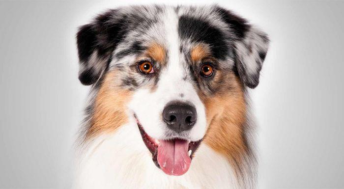 Australian Shepherd Dog Breed Information 4