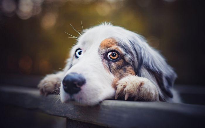 Australian Shepherd Dog Breed Information 5