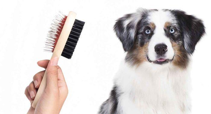 Australian Shepherd Dog Breed Information 8