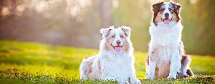 Australian Shepherd Dog Breed Information 2