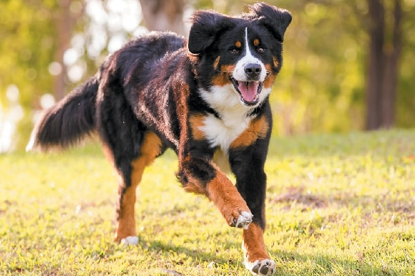 20+ Largest Dog Breeds Ever – 2020 14