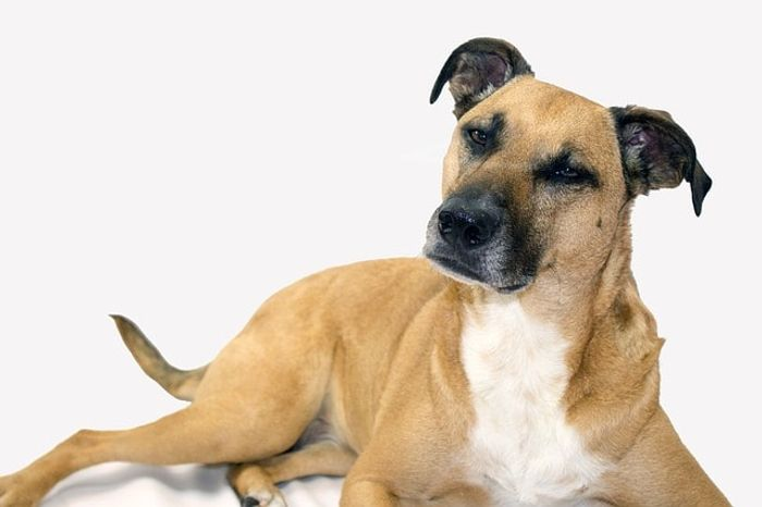 Black Mouth Cur - Dog Breed Information, Pictures, Characteristics 8