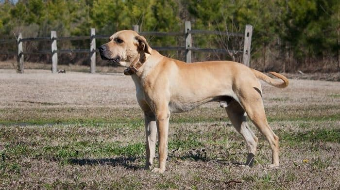 Black Mouth Cur - Dog Breed Information, Pictures, Characteristics 7