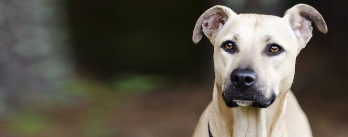 Black Mouth Cur - Dog Breed Information, Pictures, Characteristics 2