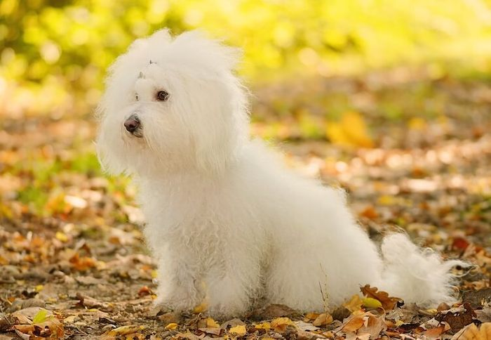 20 Most Popular White Dog Breeds 2020 5