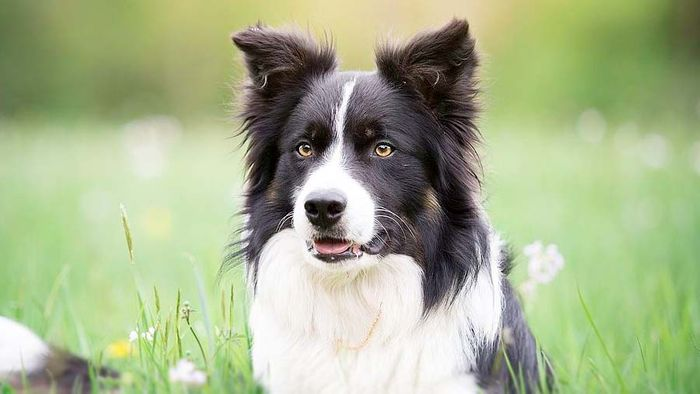 Border Collie Dog Breed Information, Pictures, Characteristics 9