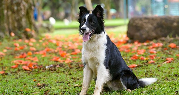 Border Collie Dog Breed Information, Pictures, Characteristics 3