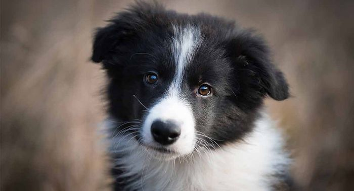 Border Collie Dog Breed Information, Pictures, Characteristics 8