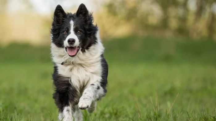Border Collie Dog Breed Information, Pictures, Characteristics 6