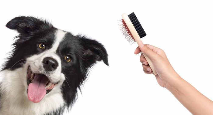 Border Collie Dog Breed Information, Pictures, Characteristics 5