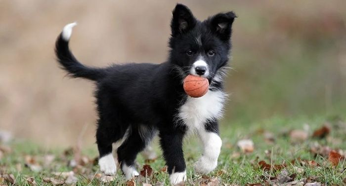 Border Collie Dog Breed Information, Pictures, Characteristics 7