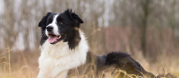 Border Collie Dog Breed Information, Pictures, Characteristics 2