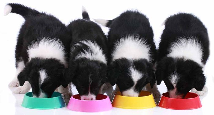 Border Collie Dog Breed Information, Pictures, Characteristics 4