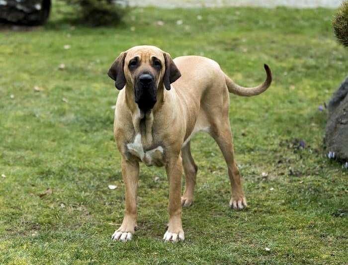 The Full List of Mastiff Dog Breeds 2020 6