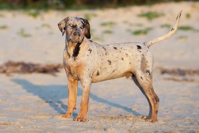 Catahoula Leopard Dog Breed Information 2020 4