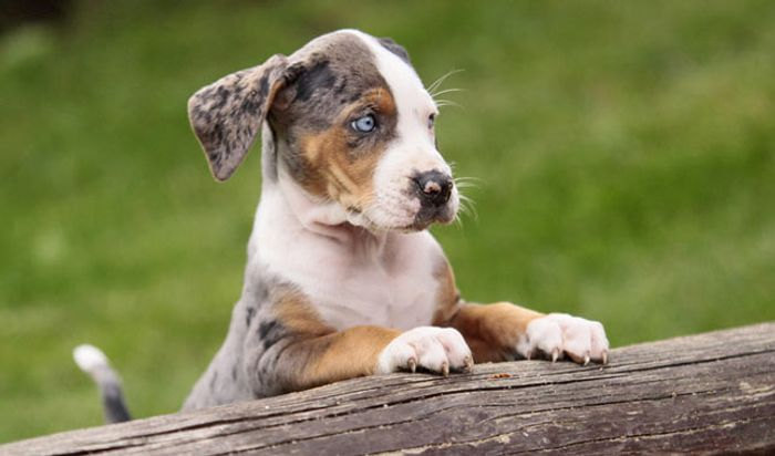 Catahoula Leopard Dog Breed Information 2020 2