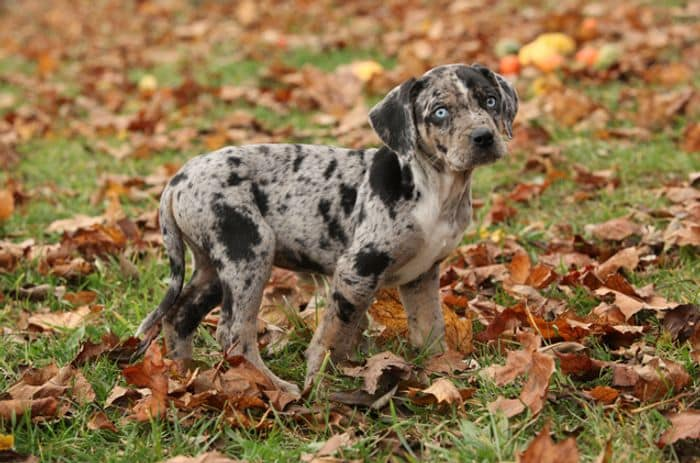 Catahoula Leopard Dog Breed Information 2020 5