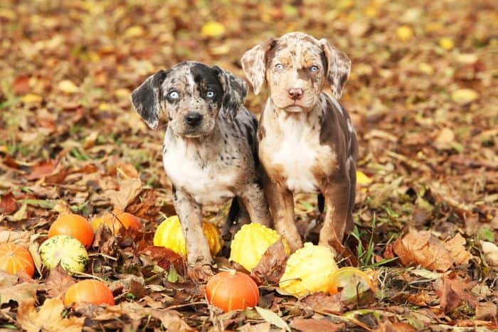 Catahoula Leopard Dog Breed Information 2020 3