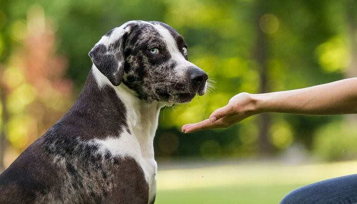 Catahoula Leopard Dog Breed Information 2020 7