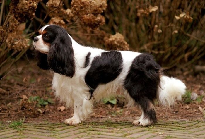Cavalier King George Spaniel 5