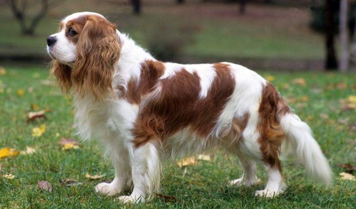 Cavalier King George Spaniel 9