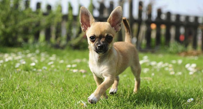 Chihuahua Dog Breed Information 2020 2