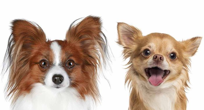 Chihuahua Dog Breed Information 2020 3