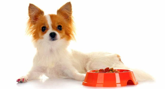 Chihuahua Dog Breed Information 2020 4