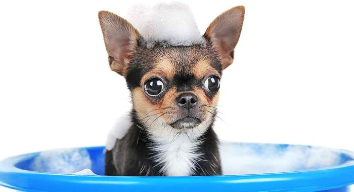 Chihuahua Dog Breed Information 2020 5