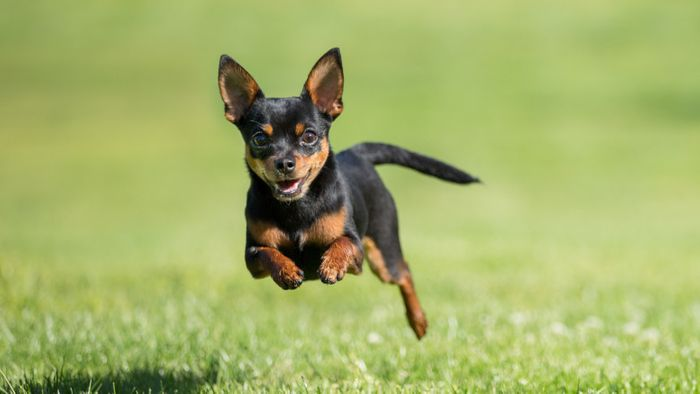 Chihuahua Dog Breed Information 2020 6