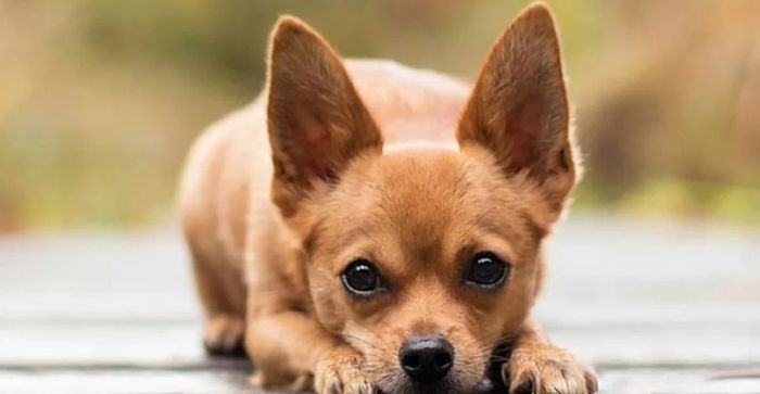Chihuahua Dog Breed Information 2020 7
