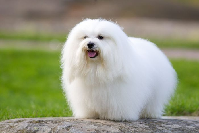 20 Most Popular White Dog Breeds 2020 6
