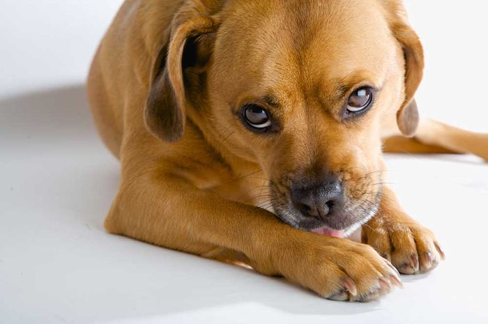 Dog Allergies: Symptoms & Treatment 4