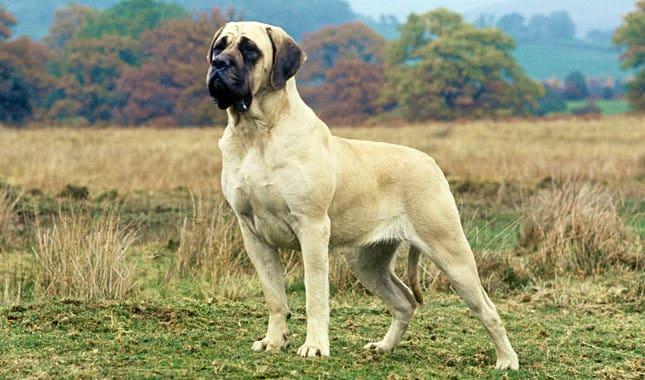 The Full List of Mastiff Dog Breeds 2020 9