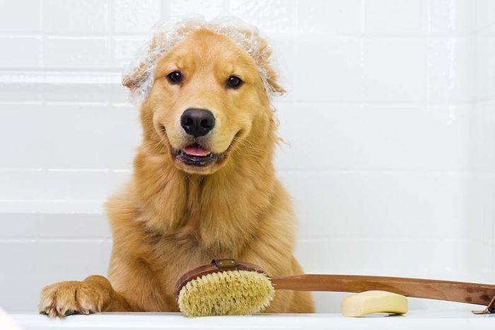 Golden Retriever Dog Breed Information 2020 5