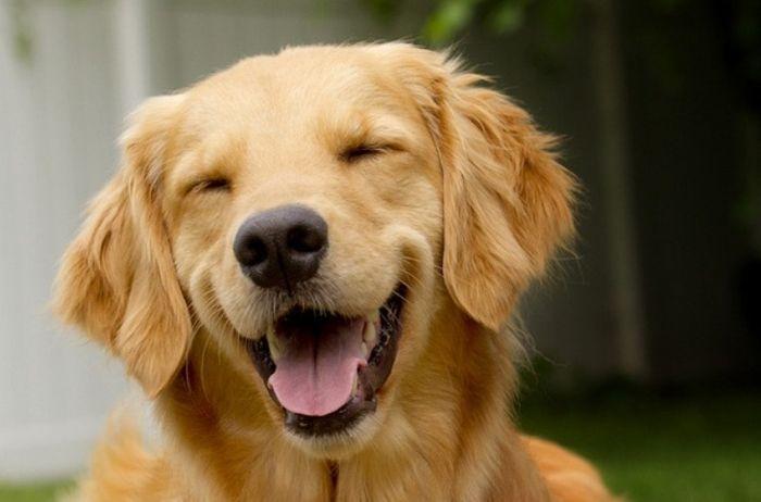 Golden Retriever Dog Breed Information 2020 3
