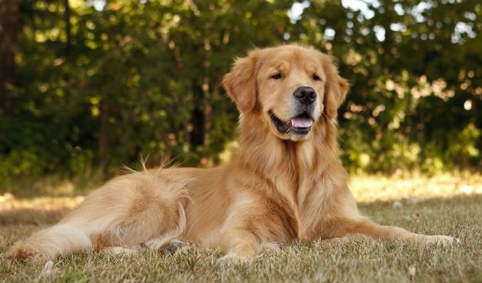 Golden Retriever Dog Breed Information 2020 2