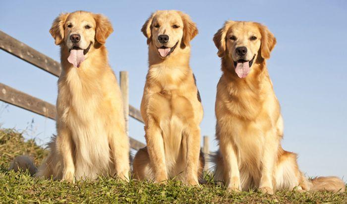 Golden Retriever Dog Breed Information 2020 9