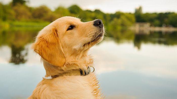 Golden Retriever Dog Breed Information 2020 7