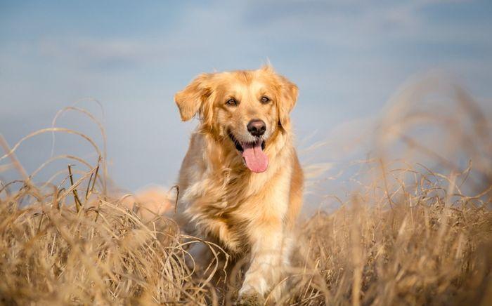 Golden Retriever Dog Breed Information 2020 6