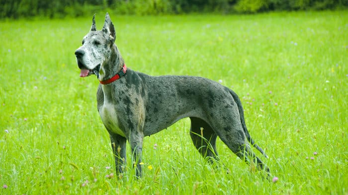 20+ Largest Dog Breeds Ever – 2020 11