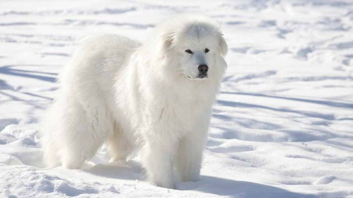 20 Most Popular White Dog Breeds 2020 8